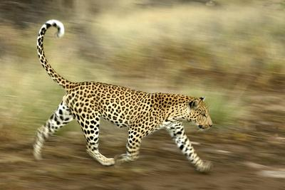 https://imgc.allpostersimages.com/img/posters/leopard-running_u-L-Q106G9Q0.jpg?p=0