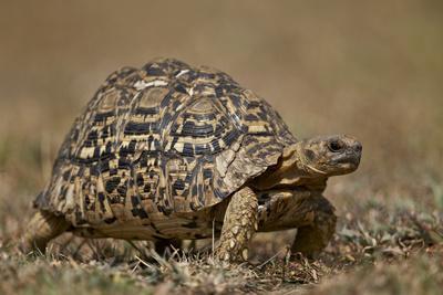 https://imgc.allpostersimages.com/img/posters/leopard-tortoise-geochelone-pardalis_u-L-PWFBW80.jpg?p=0