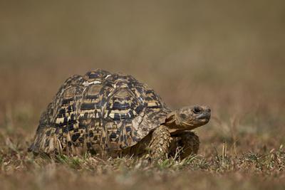 https://imgc.allpostersimages.com/img/posters/leopard-tortoise-geochelone-pardalis_u-L-PWFKWJ0.jpg?p=0