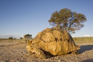 Leopard Tortoise in Kgalagadi Transfrontier Park