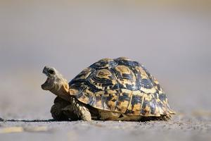 Leopard Tortoise with Open Mouth