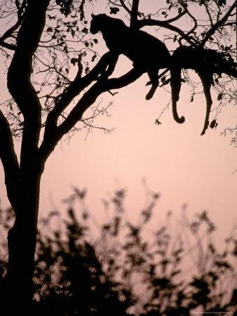 https://imgc.allpostersimages.com/img/posters/leopard-with-impala-carcass-in-tree-okavango-delta-botswana_u-L-P580F40.jpg?p=0