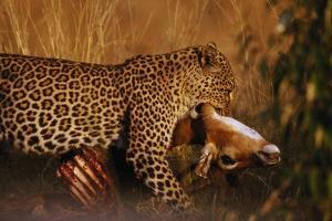 Leopard with Impala Kill