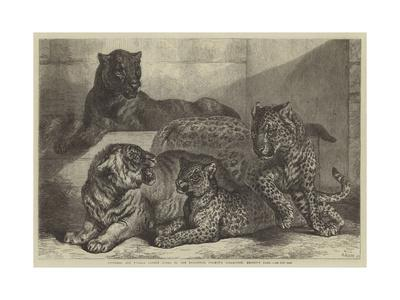 https://imgc.allpostersimages.com/img/posters/leopards-and-tigress-lately-added-to-the-zoological-society-s-collection-regent-s-park_u-L-PUSL7X0.jpg?artPerspective=n