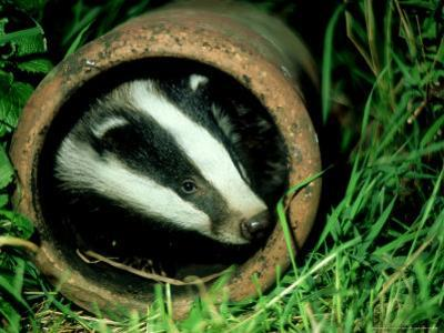 Badger, Young, UK