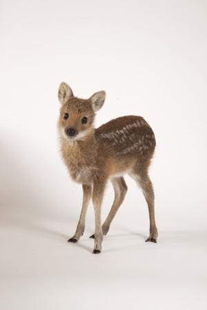 Chinese Water Deer by Les Stocker