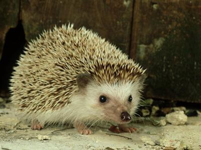 Four-Toed Hedgehog, England, UK by Les Stocker