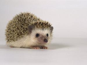 Four-Toed Hedgehog by Les Stocker