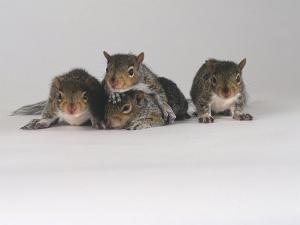 Grey Squirrel by Les Stocker