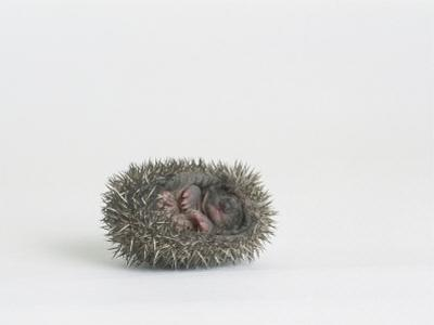 Hedgehog, Young by Les Stocker
