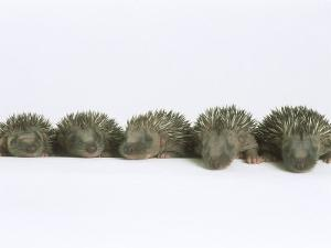 Hedgehogs, Young by Les Stocker
