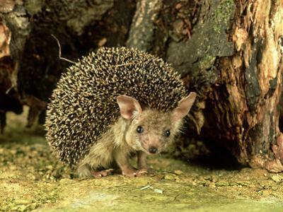 Long-Eared Hedgehog, England, UK by Les Stocker