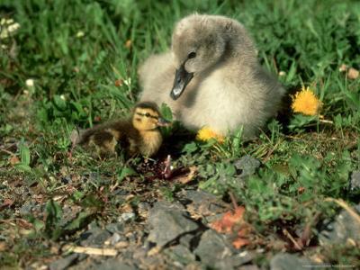 Mute Swan, Branta Canadensis, England by Les Stocker