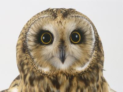 Short-Eared Owl, Asio Flammeus by Les Stocker