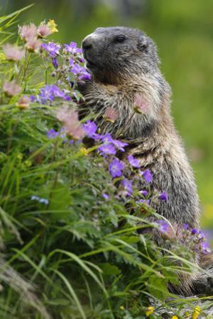 Alpine Marmot (Marmota Marmota) Feeding on Flowers, Hohe Tauern National Park, Austria, July 2008 by Lesniewski