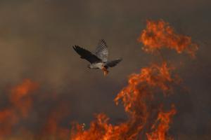 Male Red Footed Falcon (Falco Vespertinus) over Burning Steppe Fields, Kerch Peninsula, Ukraine by Lesniewski