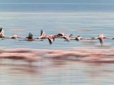 https://imgc.allpostersimages.com/img/posters/lesser-flamingoes-phoenicopterus-minor-lake-nakuru-kenya_u-L-PHARWV0.jpg?p=0