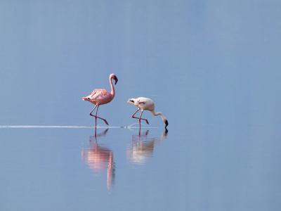 https://imgc.allpostersimages.com/img/posters/lesser-flamingoes-phoenicopterus-minor-lake-nakuru-kenya_u-L-PHARXI0.jpg?p=0