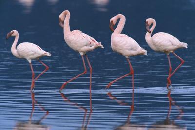 https://imgc.allpostersimages.com/img/posters/lesser-flamingos_u-L-PZPAZD0.jpg?p=0
