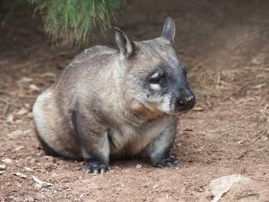 Native Australian Wombat by LevKr