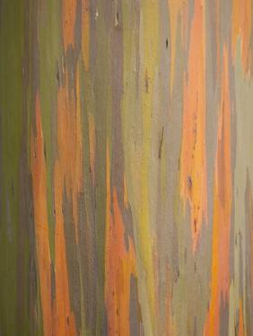 Rainbow Eucalyptus Tree Bark by Lew Robertson