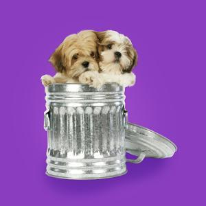 Lhasa Apso and Shih Tzu Puppies in a Dustbin