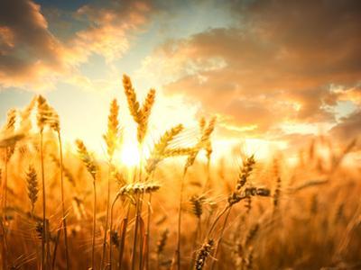 Wheat Field Against Golden Sunset, Shallow Dof by Li Ding