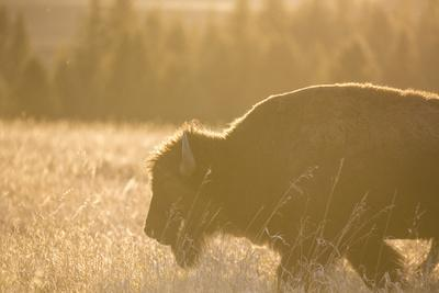 American Bison In Grand Teton National Park At Sunset