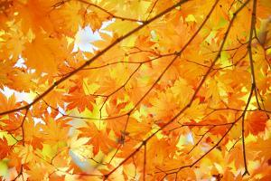 Autumn Maple Leaves Background by Liang Zhang