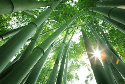 Bamboo Forest in the Morning by Liang Zhang