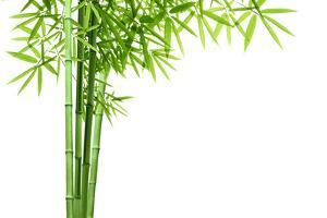 Bamboo Isolated on White Background by Liang Zhang