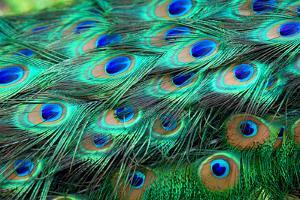 Colorful Peacock Feathers,Shallow Dof. by Liang Zhang