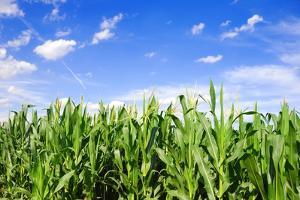 Corn Field by Liang Zhang