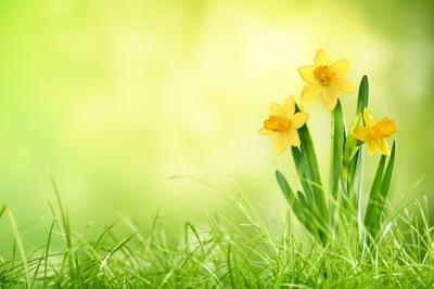 Daffodil Flowers on Spring Background by Liang Zhang
