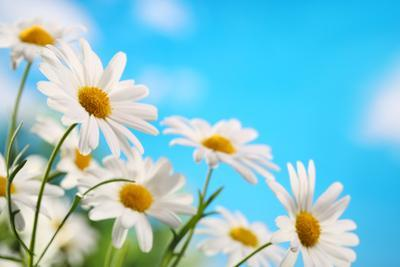 Daisy Flower against Blue Sky by Liang Zhang