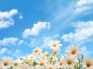 Field of Daisy Flowers against Blue Sky by Liang Zhang