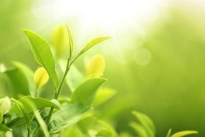 Green Tea Bud and Leaves.Shallow Dof.