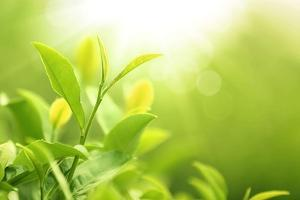 Green Tea Bud and Leaves.Shallow Dof. by Liang Zhang