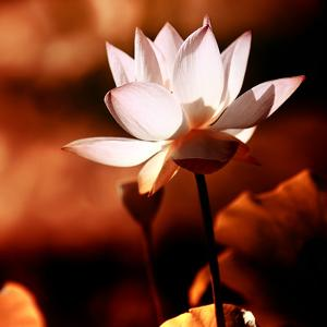 Lotus Flower Blossom by Liang Zhang