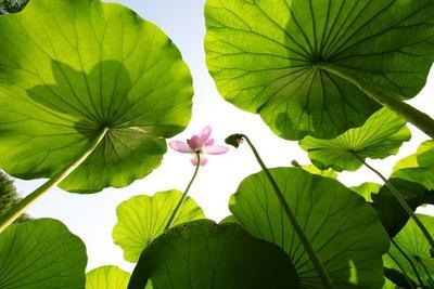 Lotus Rise up to the Sky