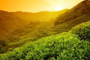Tea Plantation Landscape at Sunrise by Liang Zhang
