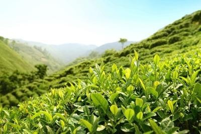 Tea Plantations by Liang Zhang