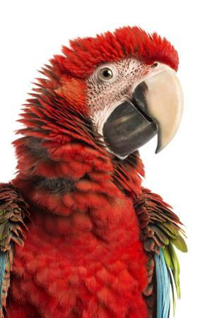 Close-Up of a Green-Winged Macaw by Life on White