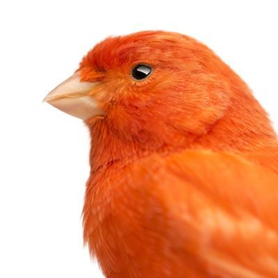 Close-Up of a Red Canary, Serinus Canaria by Life on White