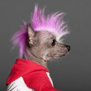 Close-Up Of Chinese Crested Dog With Pink Mohawk, 4 Years Old, In Front Of Grey Background by Life on White