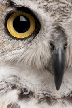 Close-Up of Great Horned Owl, Bubo Virginianus Subarcticus by Life on White