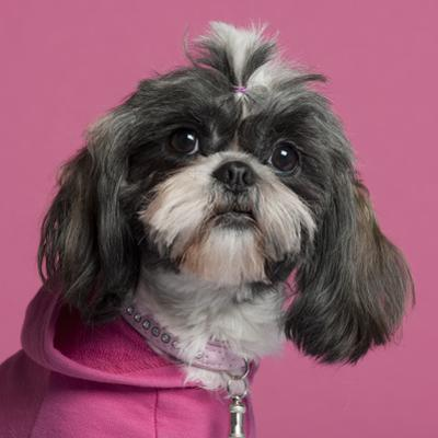 Close-Up Of Shih Tzu In Pink, 2 Years Old, In Front Of Pink Background