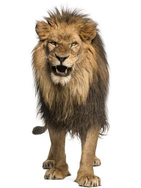 Front View of a Lion Roaring, Standing, Panthera Leo, 10 Years Old, Isolated on White by Life on White