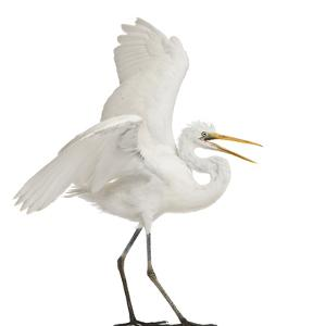 Great Egret or Great White Egret or Common Egret, Ardea Alba, Standing in Front of White Background by Life on White