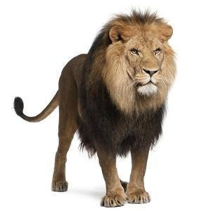 Lion, Panthera Leo, 8 Years Old, Standing in Front of White Background by Life on White